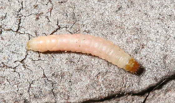 Indian meal moth larva