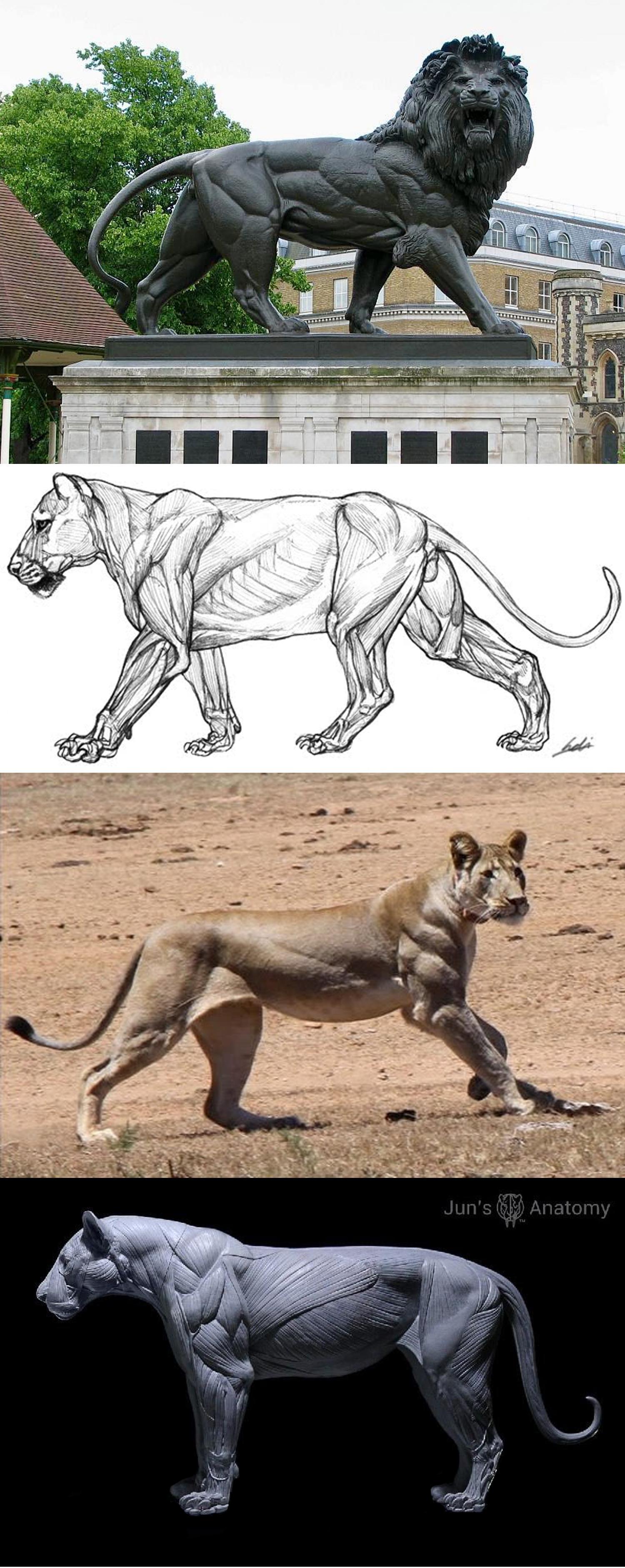 Arena Rex, Leo, Lion, Musculature
