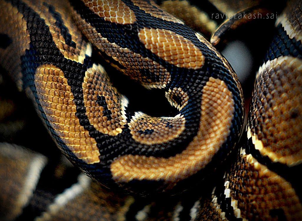 Euryale, Snake, Snakeskin